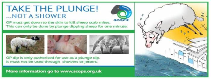 Scops - Take plunge not shower for dipping sheep